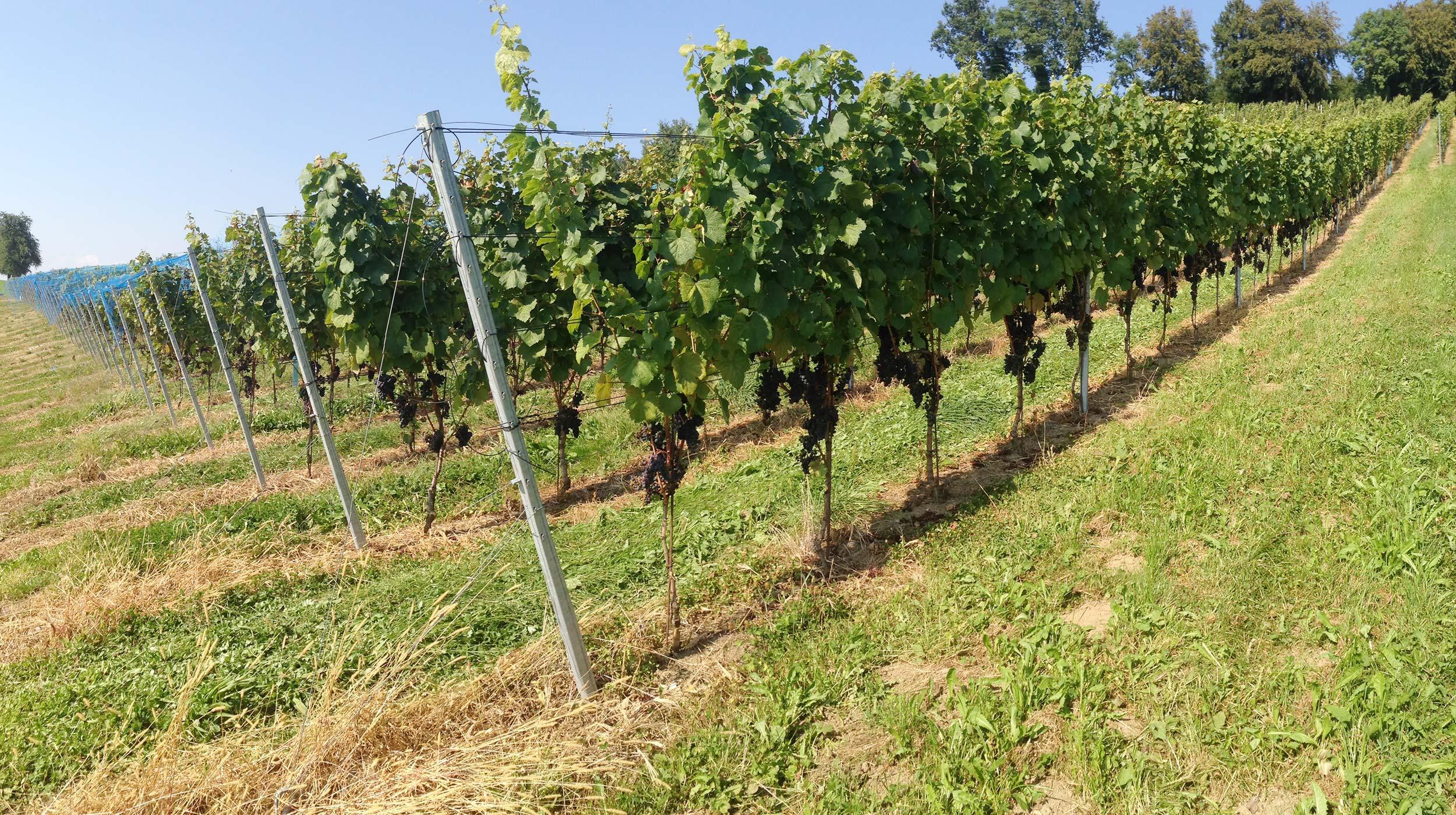 Rebanlage Rebe Weinbau Weinanbau Längle